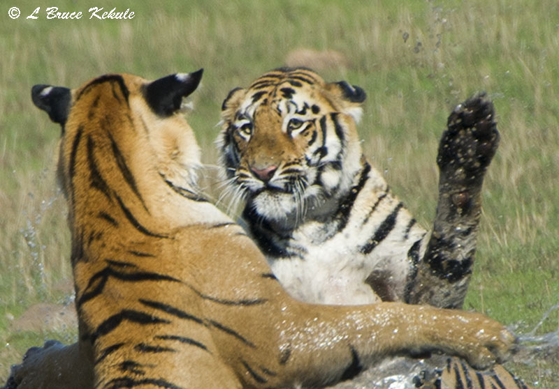 Tigers sparring in Tadoba