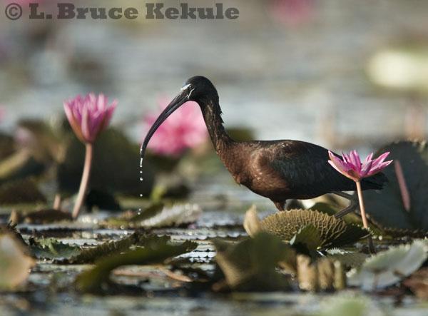 wildlife in Beung Boraphet
