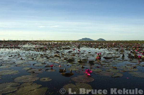 Breeding area in Beung Boraphet