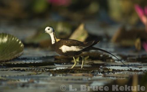 Pheasant-tailed jacana in Beung Boraphet