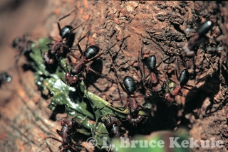 Carpenter ants in Thung Yai Naresuan WS