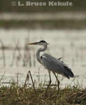 Grey heron in Beung Boraphet