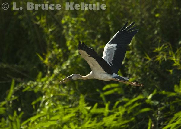 Openbill flying in Beung Boraphet