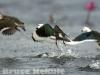 Cotton pigmy goose in Beung Boraphet