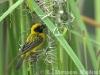 Asian golden weaver making a nest