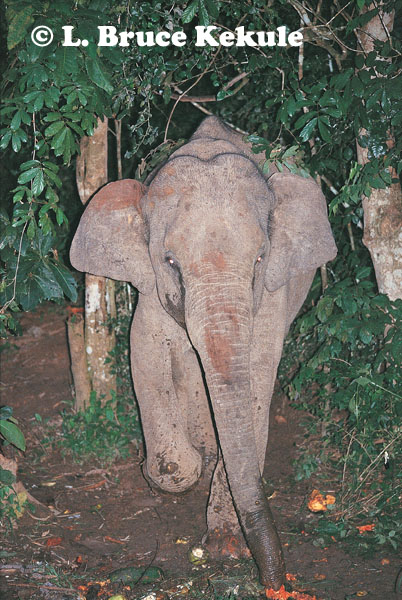 Asian elephant scavenging discarded fruit in Kaeng Krachan NP