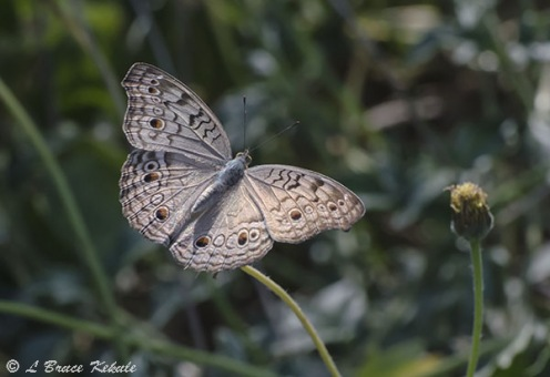 Pansi butteryfly in Doi Chiang Dao