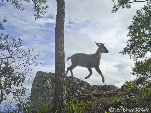 Goral jumping in Mae Lao - Mae Sae Wildlife Sanctuary