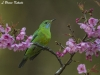 Green leaf bird in Chiang Dao Wildlife Sanctuary
