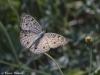 Pansi butteryfly in Doi Chiang Dao