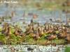 Whistling ducks in Chiang Saen lake
