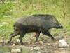 Wild boar in Om Koi Wildlife Sanctuary