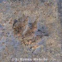 Fossil arcosaur fottprint