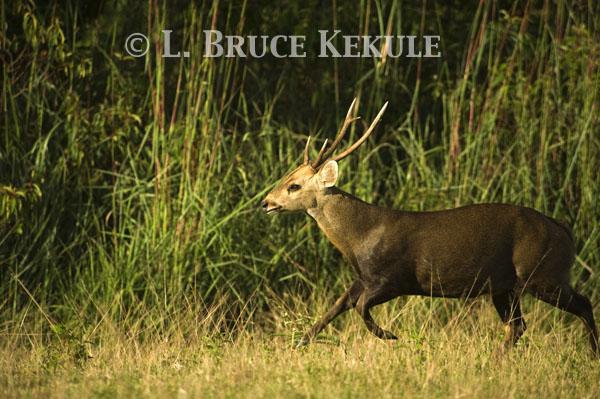 Hog deer buck running in Phu Khieo Wildlife Sanctuary