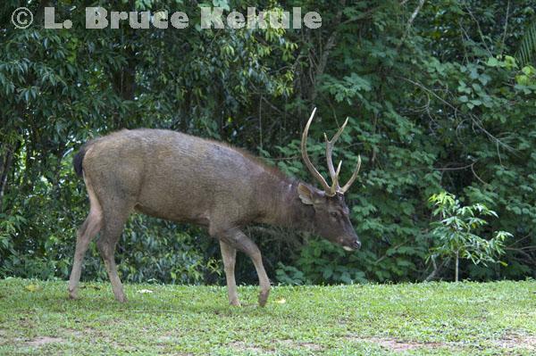 Sambar stag at campground