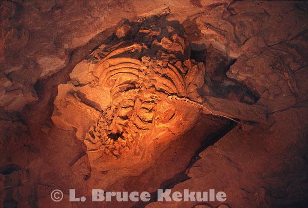 Sauropod dinosaur fossil