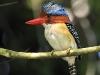 banded-kingfisher_0