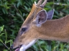 Common muntjac munching on leaves in Khao Yai