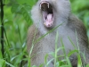 Pig-tailad Macaque