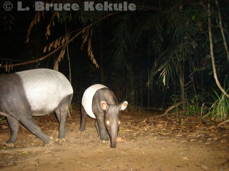 Asian tapir in Khlong Saeng Wildlife Sanctuary