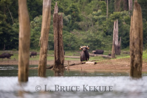Gaur cow by Khlong Saeng River