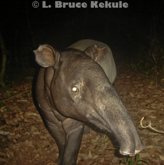Asian tapir camera-trapped in Khlong Saeng Wildlife Sanctuary