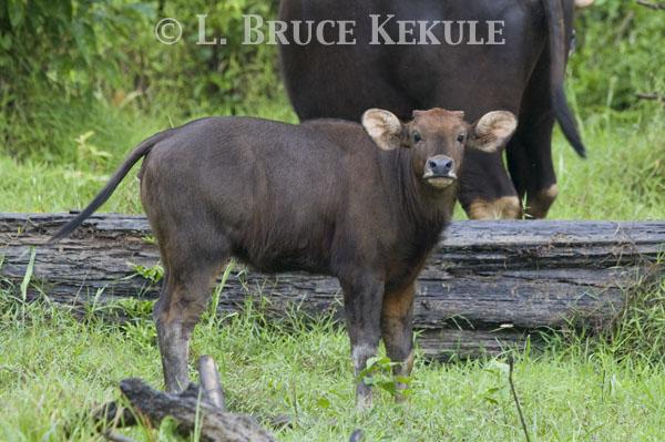 Young calf by Khlong Ya River