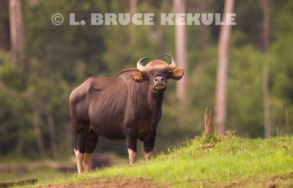 Gaur-cow
