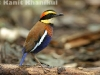 Banded pitta male in Khao Nor Chuchi