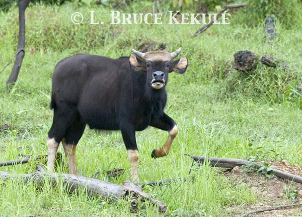 Young Gaur bull by Khlong Ya River