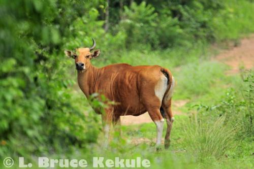 Banteng cow in Khao Ang Rue Nai