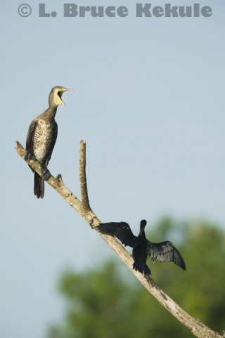 Great & little cormorants in Khao Ang Rue Nai
