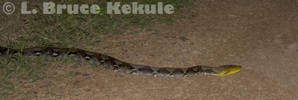 Burmese reticulated python in Khao Ang Rue Nai