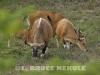 Banteng-herd