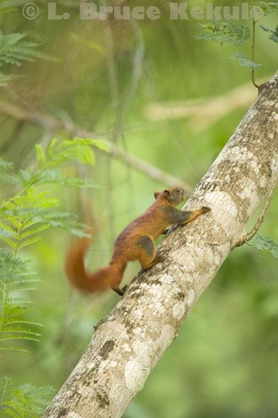 Variable squirrel in Khao Ang Rue Nai