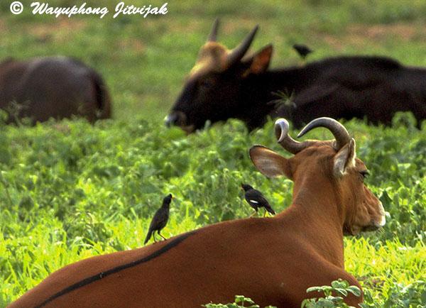 Banteng cow, mynhas and gaur in Kuiburi