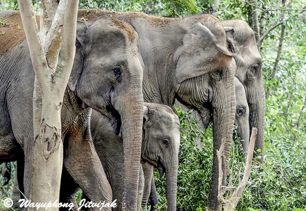 Elephatns in Kuiburi