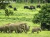 Elephants and gaur in Kuiburi