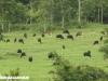 Gaur and Banteng in Kuiburi