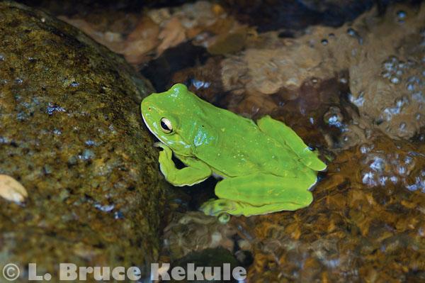 Giant tree frog in a stream in Kaeng Krachan