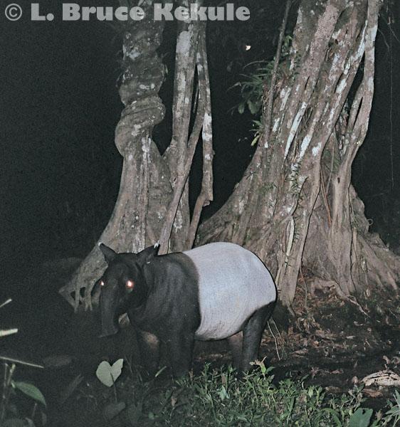 Tapir camera-trapped in Kaeng Krachan