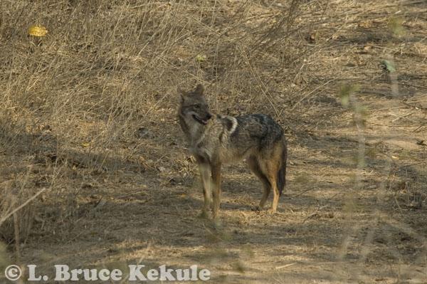 Asiatic jackal in Kuiburi National Park