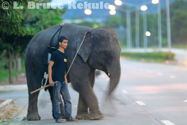Begging elephant near 700 year stadium in Chiang Mai