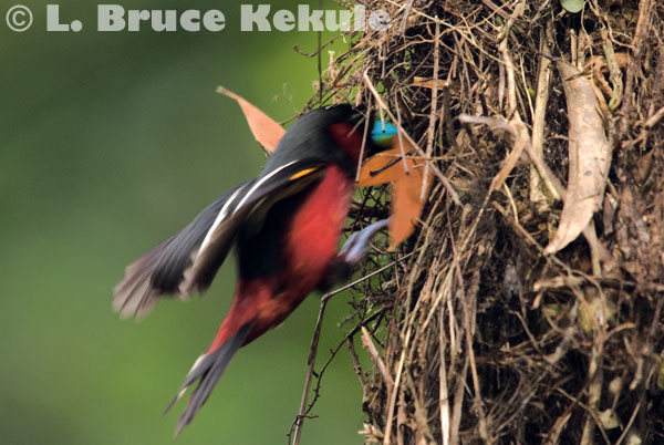 Black-and-red broadbill in Kaeng Krachan