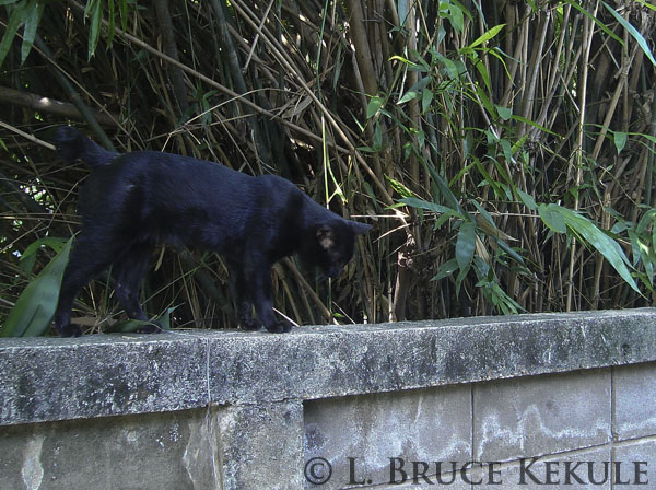 Black feral cat camera-trapped on a wall behind my house in Chiang Mai