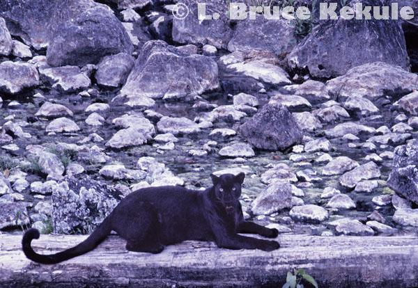 Black leopard at a hot spring