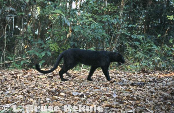 Black leopard camera-trapped in Kaeng Krachan