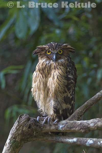 Buffy fish owl in Kaeng Krachan