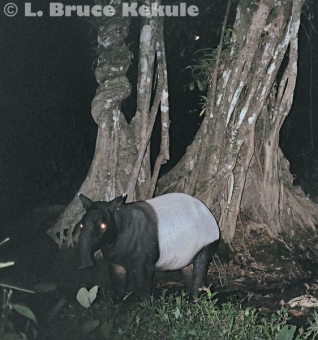 Tapir camera-trapped in Kaeng Krachan