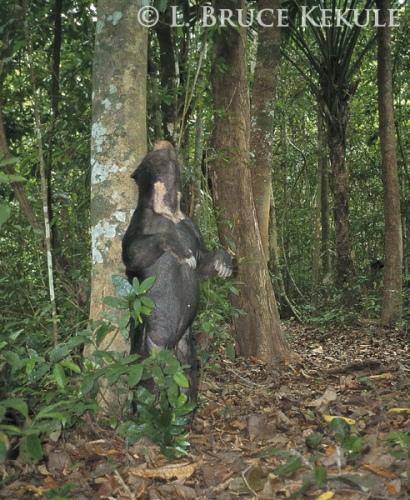 Asiatic sun bear camera-trapped in Kaeng Krachan